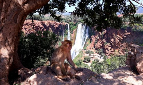 monkey at Ouzoud Waterfalls