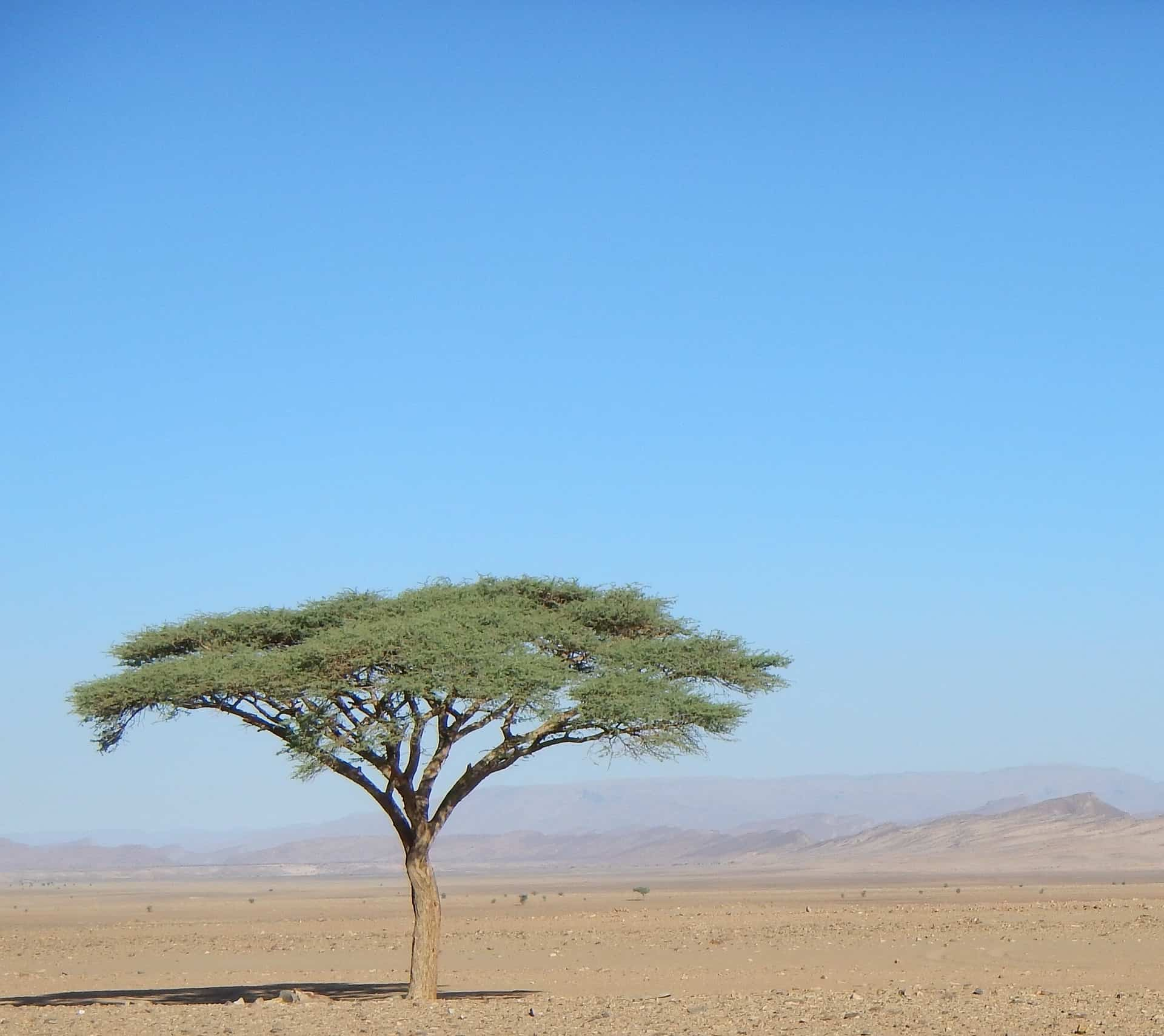 A green tree stands tall in the Sahara Desert